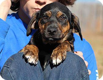 Australian Shepherd/Retriever (Unknown Type) Mix Puppy for adoption in Berkeley Heights, New Jersey - Bashful