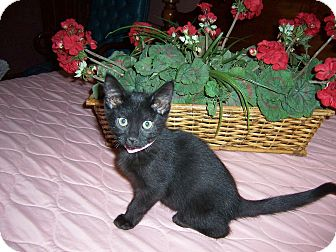 Bombay Kitten for adoption in Taylor Mill, Kentucky - Buffy-Baby kitten