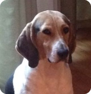 Foxhound Mix Dog for adoption in westport, Connecticut - Home for the Holidays?