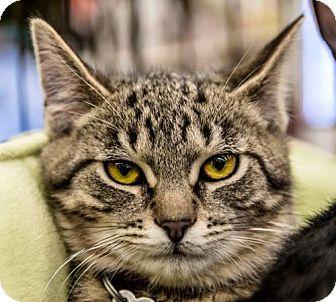 Domestic Shorthair Cat for adoption in Livonia, Michigan - Ib litter - Kaibu