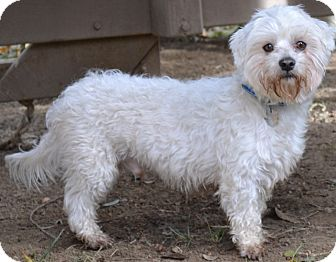 Maltese Mix Dog for adoption in Simi Valley, California - Snowball