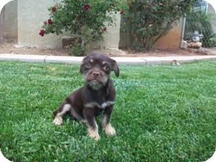 Schnauzer (Miniature)/Dachshund Mix Dog for adoption in Tustin, California - Cocoa