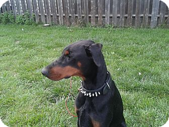Doberman Pinscher Dog for adoption in Welland, Ontario - Rocket