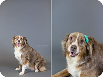 Australian Shepherd Dog for adoption in Muskegon, Michigan - Cinnamon