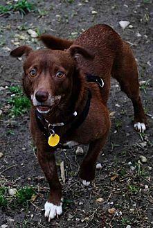 Chihuahua Dog for adoption in Thibodaux, Louisiana - Riley K92-8885