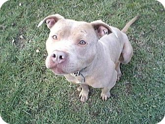 American Staffordshire Terrier Dog for adoption in Montclair, New Jersey - Buttercup