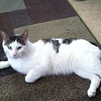Domestic Shorthair Cat for adoption in Rockaway, New Jersey - Roscoe
