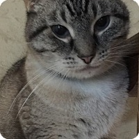 Adopt A Pet :: Buzzy (Lynx-point Siamese) - Witter, AR