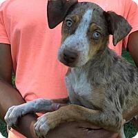Adopt A Pet :: Arthur - Dumfries, VA