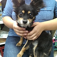 Adopt A Pet :: Foxy - Thousand Oaks, CA