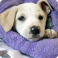 Adopt A Pet :: Element Pup - Wind - San Diego, CA