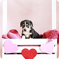 Adopt A Pet :: Sheila - Waldorf, MD