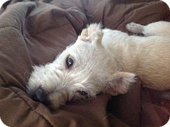 Westie, West Highland White Terrier/Terrier (Unknown Type, Small) Mix Dog for adoption in San Diego, California - Cha cha