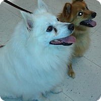 American Eskimo Dog Mix Dog for adoption in St. Louis, Missouri - Sarge