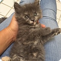 Domestic Longhair Kitten for adoption in Los Angeles, California - Buttons