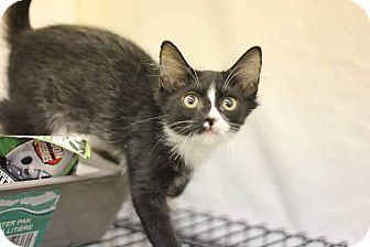 Domestic Mediumhair Kitten for adoption in Phoenix, Arizona - Bo