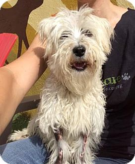 Westie, West Highland White Terrier Mix Dog for adoption in Chicago, Illinois - Mitten