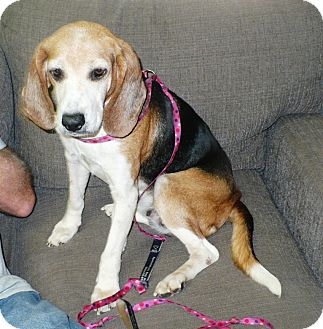 Beagle Mix Dog for adoption in Eastpoint, Florida - Vera