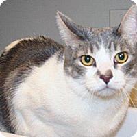 Domestic Shorthair Cat for adoption in Wildomar, California - Annie