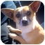 Photo 1 - Corgi/Chihuahua Mix Dog for adoption in Porter Ranch, California - Rockee Starr(PRA)