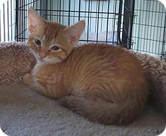Domestic Shorthair Kitten for adoption in Catasauqua, Pennsylvania - Austin