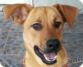 Labrador Retriever Mix Dog for adoption in San Diego, California - IKE