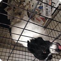 Adopt A Pet :: Ella - Pompton lakes, NJ