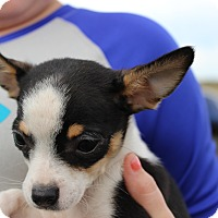 Adopt A Pet :: Sunny - Brattleboro, VT
