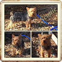Adopt A Pet :: Scottie-pending adoption - East Hartford, CT