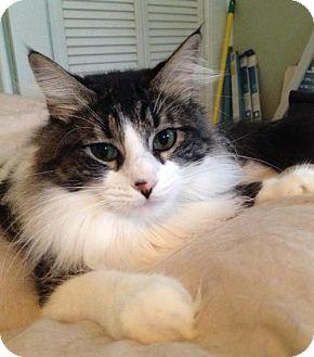 Maine Coon Cat for adoption in San Antonio, Texas - Emily