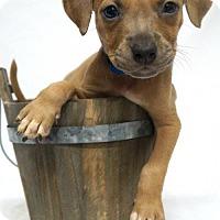 Adopt A Pet :: Hijinx - Simi Valley, CA