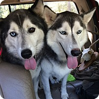 Adopt A Pet :: Zev and Lykos - Plano, TX
