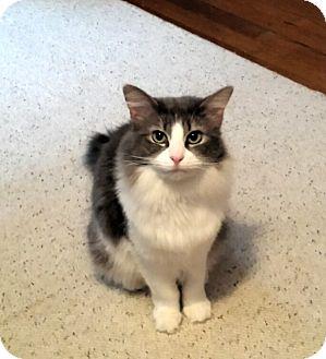 Domestic Mediumhair Cat for adoption in Jeannette, Pennsylvania - Sasha