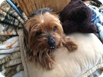 Yorkie, Yorkshire Terrier Mix Dog for adoption in Oakland, California - Brandy