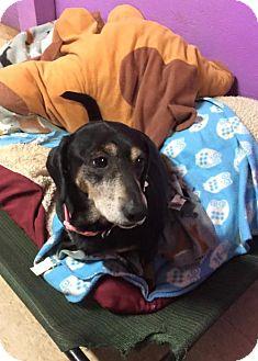 Dachshund/Beagle Mix Dog for adoption in York, South Carolina - Delta