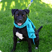 Labrador Retriever/Terrier (Unknown Type, Medium) Mix Dog for adoption in Gardnerville, Nevada - Raven
