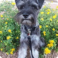 Adopt A Pet :: Dingo - Las Vegas, NV