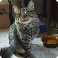 Domestic Shorthair Cat for adoption in St. Paul, Minnesota - Ned