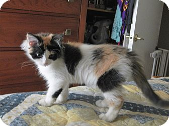 Calico Kitten for adoption in North Wilkesboro, North Carolina - Aumumn