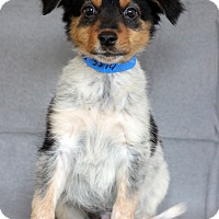 Adopt A Pet :: Brad - Waldorf, MD