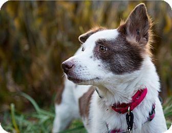 Brittany/Spaniel (Unknown Type) Mix Dog for adoption in Wonder Lake, Illinois - HILDE