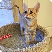 Domestic Shorthair Kitten for adoption in Dallas, Texas - Delphie