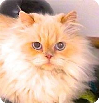 Himalayan Cat for adoption in Davis, California - Susie