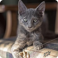 Domestic Shorthair Kitten for adoption in Dallas, Texas - Betty