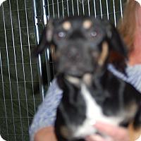 Adopt A Pet :: Priscilla - Lebanon, TN