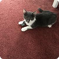 Adopt A Pet :: Bonita - Middleton, WI
