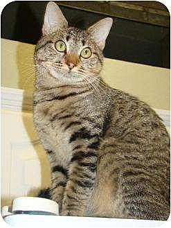 Domestic Shorthair Cat for adoption in Austin, Texas - Little John II