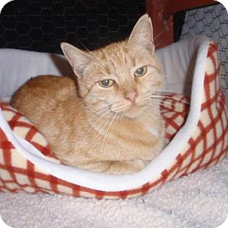 Domestic Shorthair Cat for adoption in East Brunswick, New Jersey - Nicki
