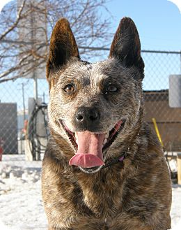 Australian Cattle Dog Dog for adoption in Meridian, Idaho - Mystic