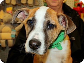 Basenji/Jack Russell Terrier Mix Puppy for adoption in Humble, Texas - Maverick